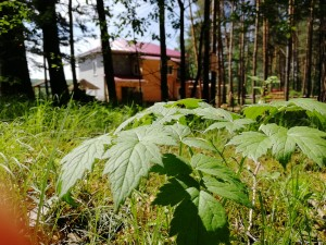 Чем полезен сосновый лес